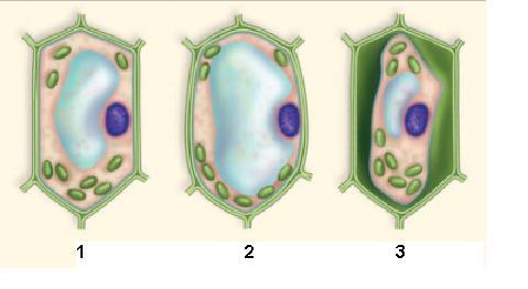 celula vegetal osmose 2 Osmose em Células Vegetais Túrgidas Flácidas Plasmólise e Deplasmólise