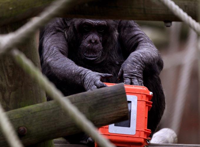 chimpanze Chimpanzés como Cobaias: Crueldade ou Necessidade? Veja os Argumentos