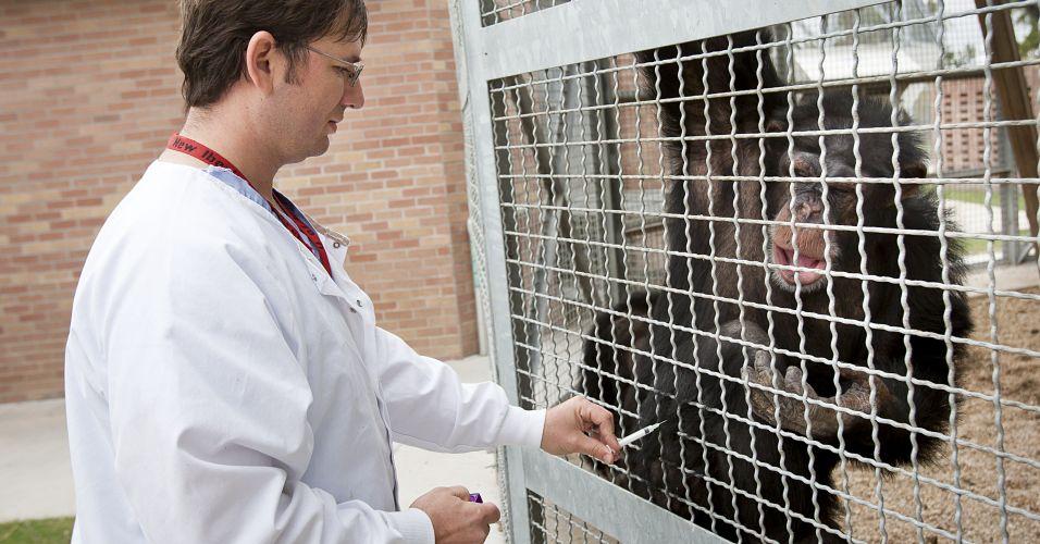cobaias Chimpanzés como Cobaias: Crueldade ou Necessidade? Veja os Argumentos