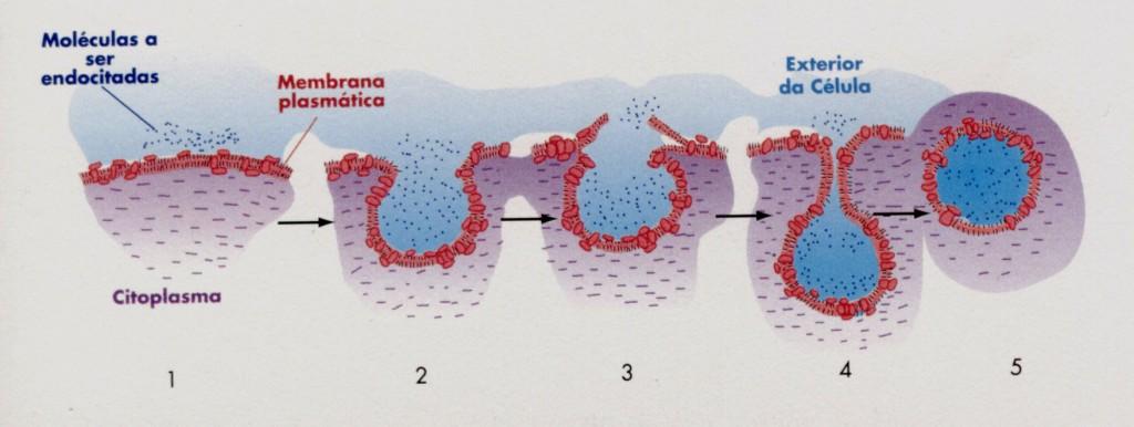 endocitose 2 1024x386 Endocitose (Fagocitose e Pinocitose) e Exocitose: Resumo e Explicação