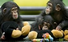 Chimpanzés como Cobaias: Crueldade ou Necessidade? Veja os Argumentos