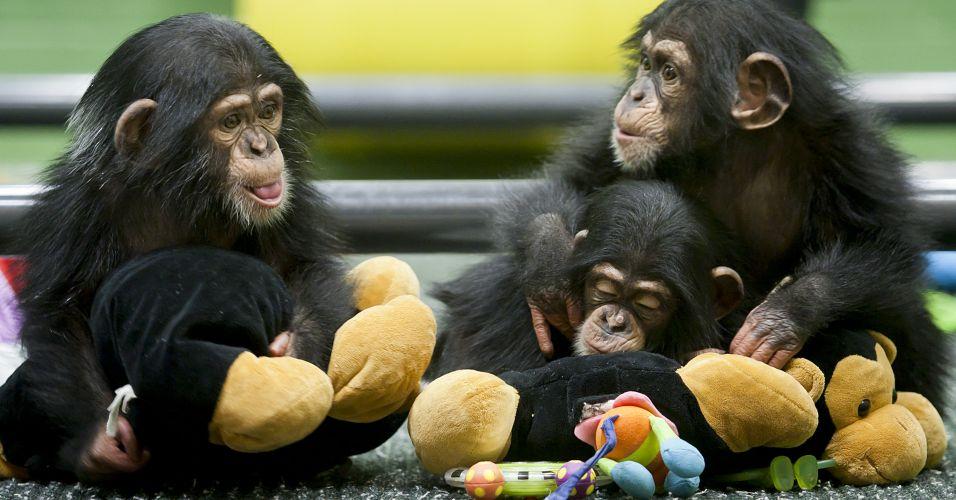 filhotes de chimpanzes Chimpanzés como Cobaias: Crueldade ou Necessidade? Veja os Argumentos