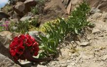 Deserto do Atacama fica Florido: Flores no Deserto mais Seco do Mundo