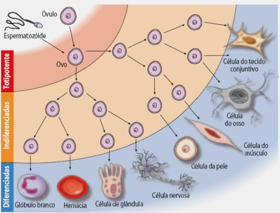 formas das celulas Características das Células: Tamanho, Forma, Funções, Tipos e Núcleo