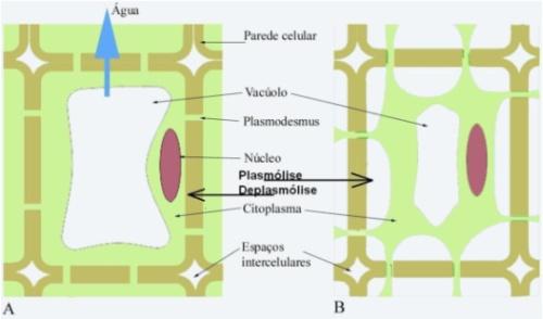 osmose plantas Osmose em Células Vegetais Túrgidas Flácidas Plasmólise e Deplasmólise