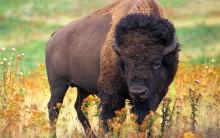 Tudo sobre Bisão: Habitat, Comportamentos, Fotos dos Gigantes Bisontes