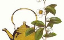 Chá Verde Emagrece – Mesmo sem Fazer Dieta – Jornal Hoje 21/01/2012