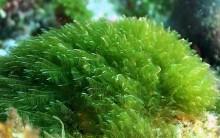 Biocombustível de Algas Marinhas: Tudo Sobre Gasolina Verde Microalgas