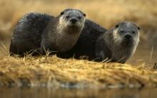 Lontras Correm Risco de Extinção – Doenças, Falta de Comida e Poluição