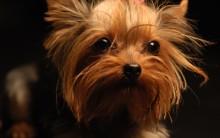 Raças de Cachorros Pequenos para Apartamento: Lista de Cães Fofos