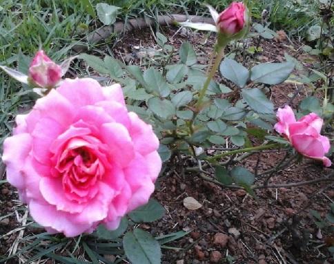 como-cuidar-de-mini-rosa-fotos-e-dicas-plantar