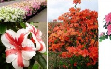 Azaleia- Como Cultivar, Plantar, Regar, Plantar, Adubar Azaleias