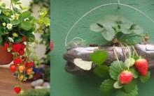 Plantar morangos em Casa – Dicas de como plantar morangos em vasos