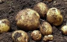 Como Plantar Batatas em Vasos, Cultivar batatas em Casa