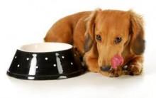 Falta de Apetite em Animais – Causas cachorro e Gato sem Fome