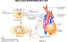 Barorreceptores Arteriais Mecanismo Regulação Pressão PA