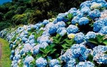 Como Plantar Hortênsia – Cuidados, Fazer Mudas e Secar