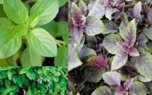 Manjericão – Benefícios à Saúde, Como Cultivar Erva