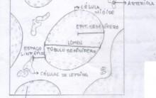 Embriologia – Gametogênese, Ciclo Espermatogênico e Menstrual
