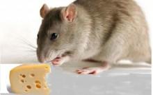 Como Afastar Ratos – Dicas de Repelentes e Cuidados