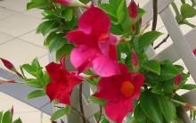 Trepadeiras com Flores – Tipos, Dicas como Cuidar e Fotos