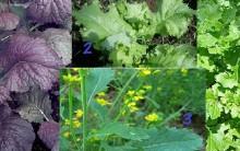 Benefícios da Mostarda – Tudo Sobre Tipos e Sementes