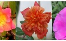 Tudo Sobre Onze Horas – Como Cultivar, Foto de Flores