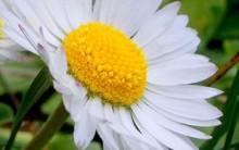 Como Cultivar Margarida – Dicas de Plantio e Fotos