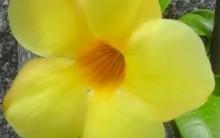 Allamanda com Flor Amarela – Como Cultivar, Cuidados