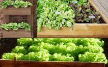 Plantar Alface em Caixa de Madeira – Dicas de Cultivo PAP