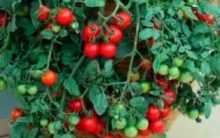 Tomate Cereja Plantado em Vasos – Como Cultivar em Casa