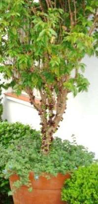 como-plantar-jabuticada-em-vasos-dicas-de-cultivo-