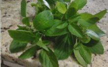 Benefícios do Manjericão ou Alfavaca – Nutrientes e Dicas de Tratamentos com a Erva
