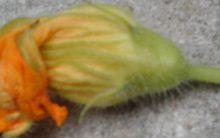 Como Fazer Flor da Abóbora Empanada – Nutrientes e Receita da Flor Comestível