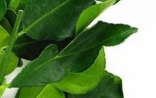 Limão Kafir, Lima de Cafir ou Combava – Nutrientes, Benefícios à Saúde e Como Usar