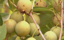 Benefícios da Guavira – Tudo Sobre os Nutrientes, Vitaminas da Guabiroba
