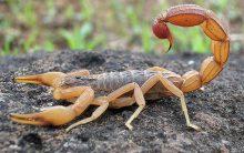 Picada de Escorpião: O que Fazer, Como Tratar e Como Evitar