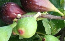 Como Plantar Figo em Vaso  – Dicas de como Cuidar, Regar, Adubar, Podar e Frutificar Bem