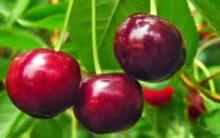 Como Plantar Cereja no Vaso ou no Chão – Dicas de Cultivo, Rega, Poda, Adubo e Floração