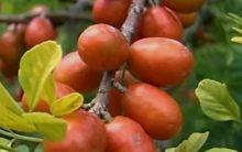 Siriguela – Tudo Sobre a Fruta, Benefícios para Saúde e Vitaminas da Fruta