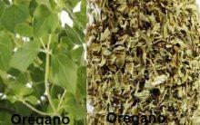 Chá de Orégano para Tratar Úlcera – Óleo de Orégano combate H. Pylore e Candidíase