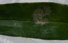 Manchas Escuras nas Folhas de Orquídea – Doença ou Fungo  cor Amarronzado, Como Tratar