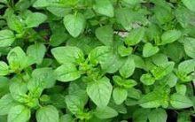 Como Plantar Orégano em Vaso ou Horta – Cuidados com o Cultivo Erva Aromática, Nutrientes e Benefícios