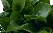 Suco Limpa Veias com Maçã, Agrião e Mel de Abelhas – Suco Verde Contra Colesterol Alto