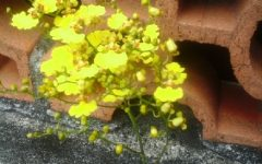Orquídea Chuva de Ouro Graúda Como Cuidar – Dicas de Cultivo, Rega e Poda
