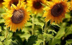 Como Plantar Girassol em Vaso – Cultivo de Flor Comestível e Benefícios para a Saúde