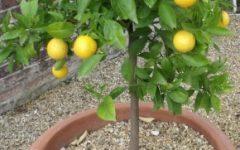 Limão no Vaso – Frutas Cítricas Plantadas em Vaso, Como Cuidar, Frutífera Ornamental