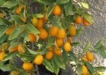 Laranjinha Kinkan no Vaso – Cuidados  e Como Cultivar Laranja Ouro