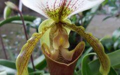 Orquídea Sapatinho de Boneca – Como Plantar e Cuidar – Foto da Flor Aberta