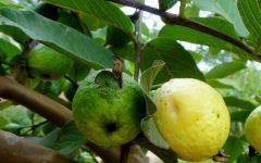 Remédios Caseiros com Folhas e Caule de Goiabeira – Benefícios e Nutrientes da Goiaba